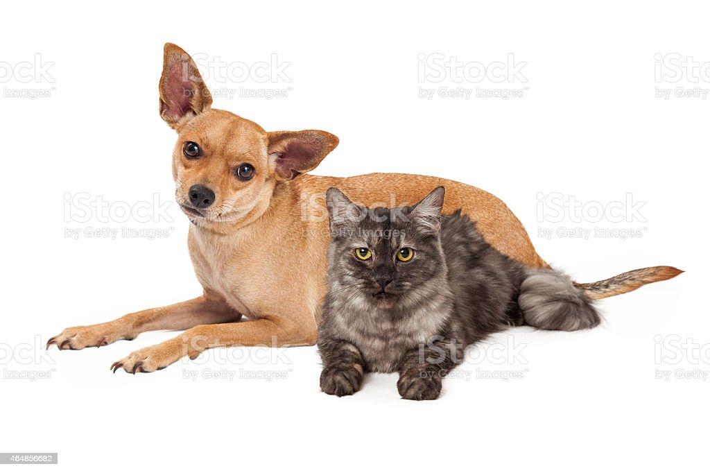 Chihuahua Dog and Gray Cat stock photo