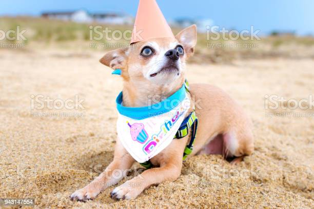 Chihuahua dog celebrates birthday at the beach picture id943147554?b=1&k=6&m=943147554&s=612x612&h=c2guo8x i6ffbtfxiceatmu4sc5esibace7kfntv 9k=