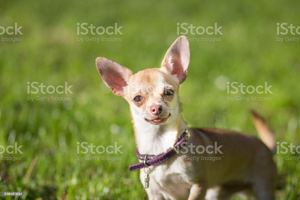 Chihuahua dog close up looking stock photo