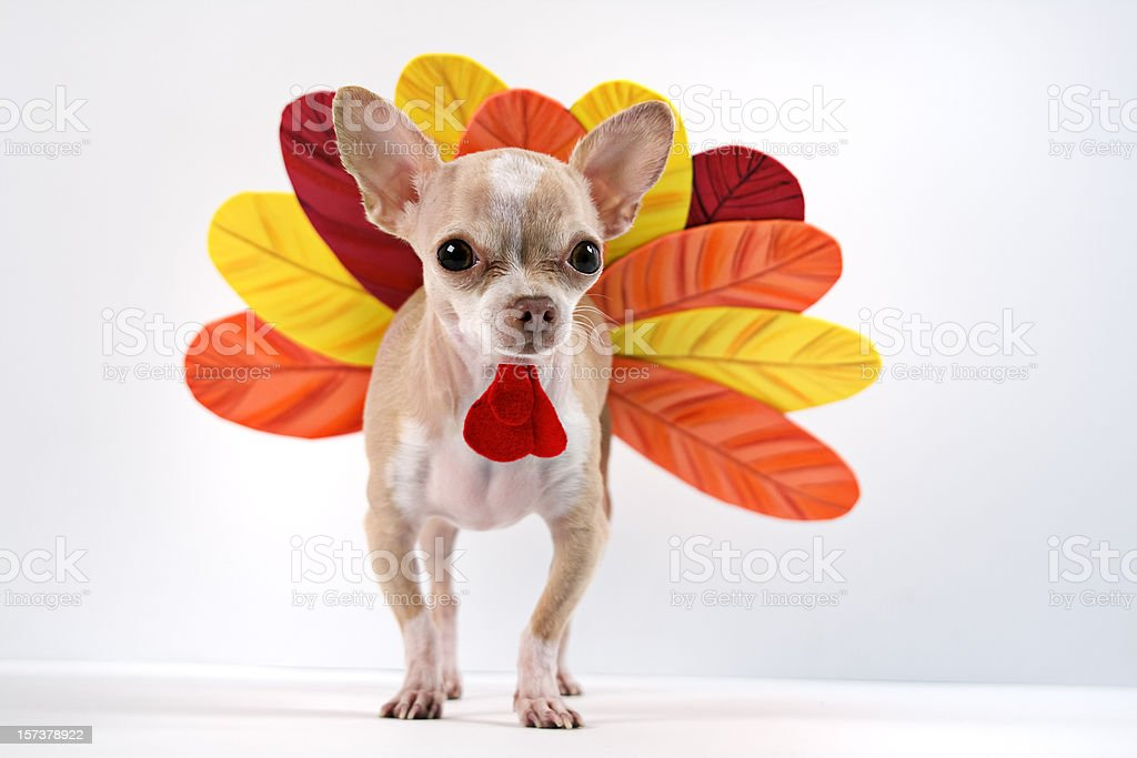 Chihuahua dog dressed up as a turkey stock photo