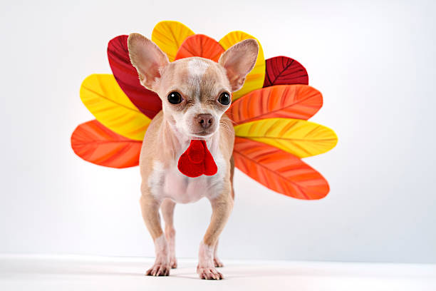 Chihuahua dog dressed up as a turkey little chihuahua dressing like a turkey for thanksgiving turkish stock pictures, royalty-free photos & images
