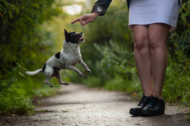 Chihuahua dog funny jumps for a treat training picture id1197657707?b=1&k=6&m=1197657707&s=612x612&w=0&h=yvvgfwtxmxbig fibxzpylxxc qruk n2nx0tolzhc4=