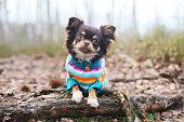 チワワ犬のニットセーターに横たわる木に根