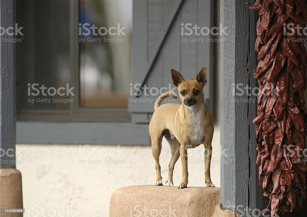Chihuahua Dog in New Mexico royalty-free stock photo