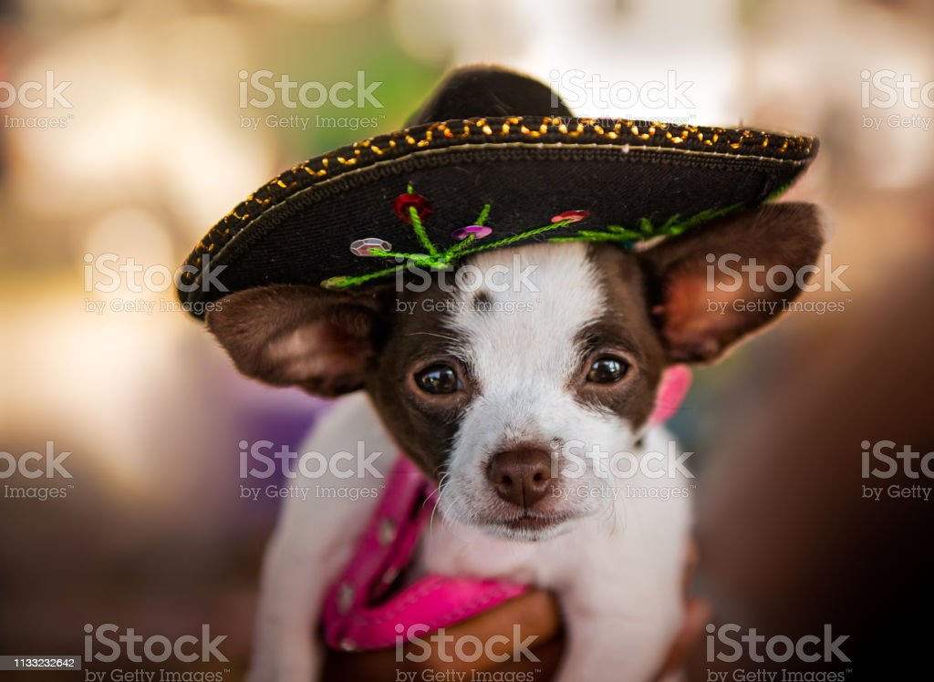 Chihuahua Dog in Sombrero Hat stock photo