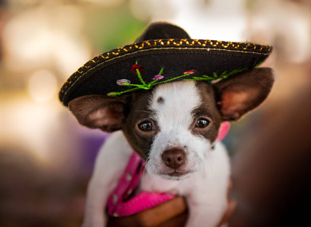 chihuahua dog in sombrero hat - cinco de mayo stock photos and pictures