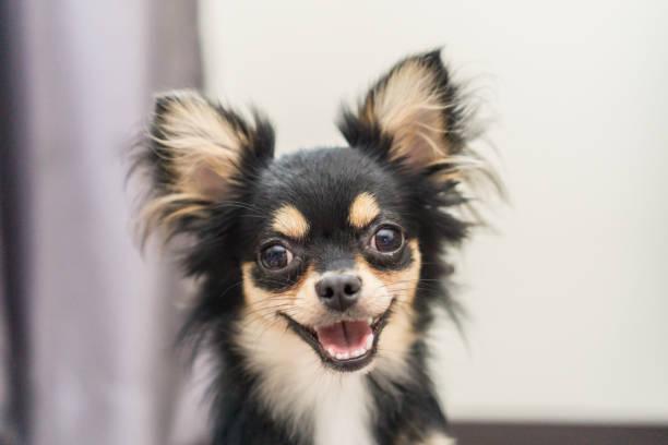 Chihuahua dog is a happy smile picture id866218416?b=1&k=6&m=866218416&s=612x612&w=0&h=u6vg hwgfqagep68kosjkvahtpzmcnfmui1zdfedh c=