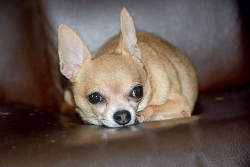Chihuahua dog lying on dark background