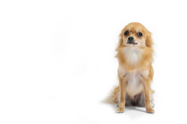 Chihuahua dog on gray background picture id836258420?b=1&k=6&m=836258420&s=612x612&w=0&h=lfc9kpiywqqxbydqk3jy4etq8epaheaiq3hotocp6fe=