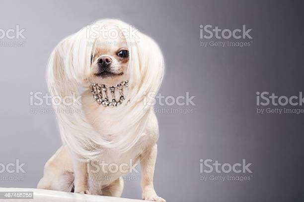 Chihuahua dog picture id467455255?b=1&k=6&m=467455255&s=612x612&h=h1mva2xxmi4vkowojg94fagrcfkugchvijvtpihturq=