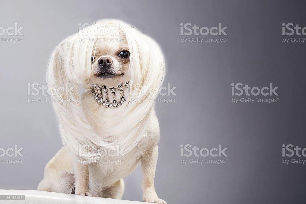 chihuahua dog stock photo