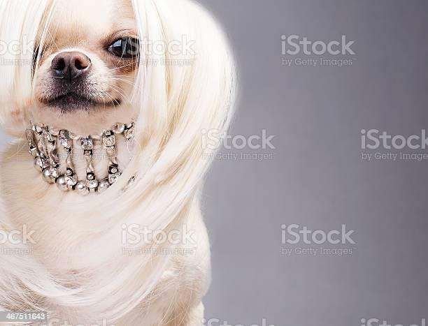 Chihuahua dog picture id467511643?b=1&k=6&m=467511643&s=612x612&h=uy6038kdhcugyj9ob ybjqg2gxt5cqy68v8howzwqau=