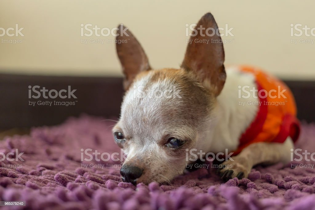 Chihuahua dog resting on foot scraper royalty-free stock photo