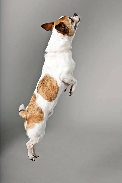 Chihuahua dog showing joint flexing picture id163520888?b=1&k=6&m=163520888&s=612x612&w=0&h=kwqvcjrhtlrbg9ojlsl8yjqruuzfyjjxn9icz8opbt8=