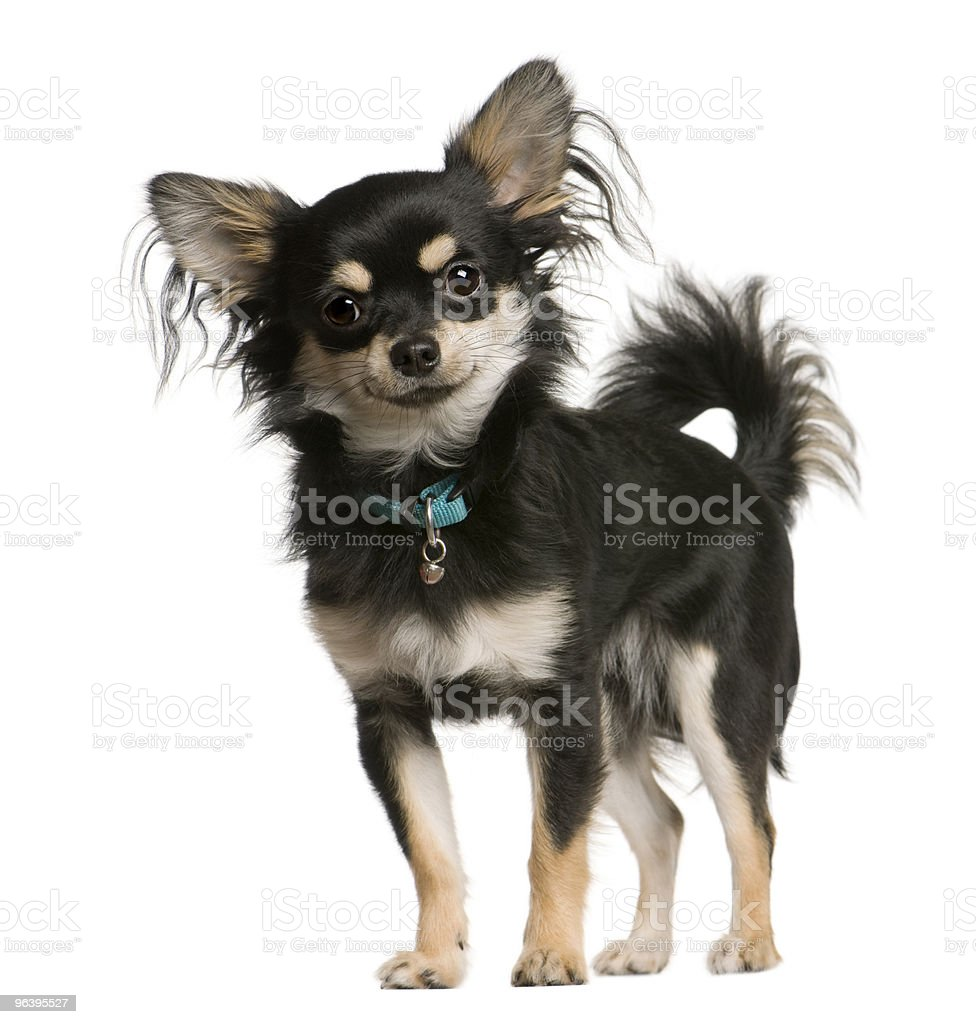 Chihuahua dog standing in front of white background - Royalty-free Animal Stock Photo