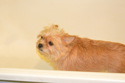 Chihuahua dog stands in a bath after a the walk