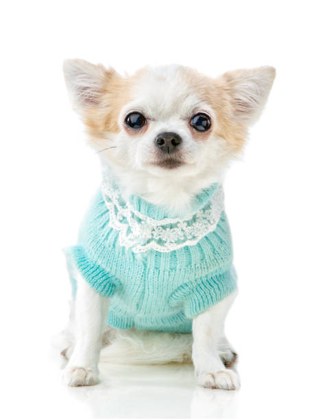 Chihuahua dog wearing knitted blue jumper with lace isolated on white picture id1083133588?b=1&k=6&m=1083133588&s=612x612&w=0&h=19vpm9820gyhtwhtz5rg zq7 sfpl1mc18huqa3w0wu=