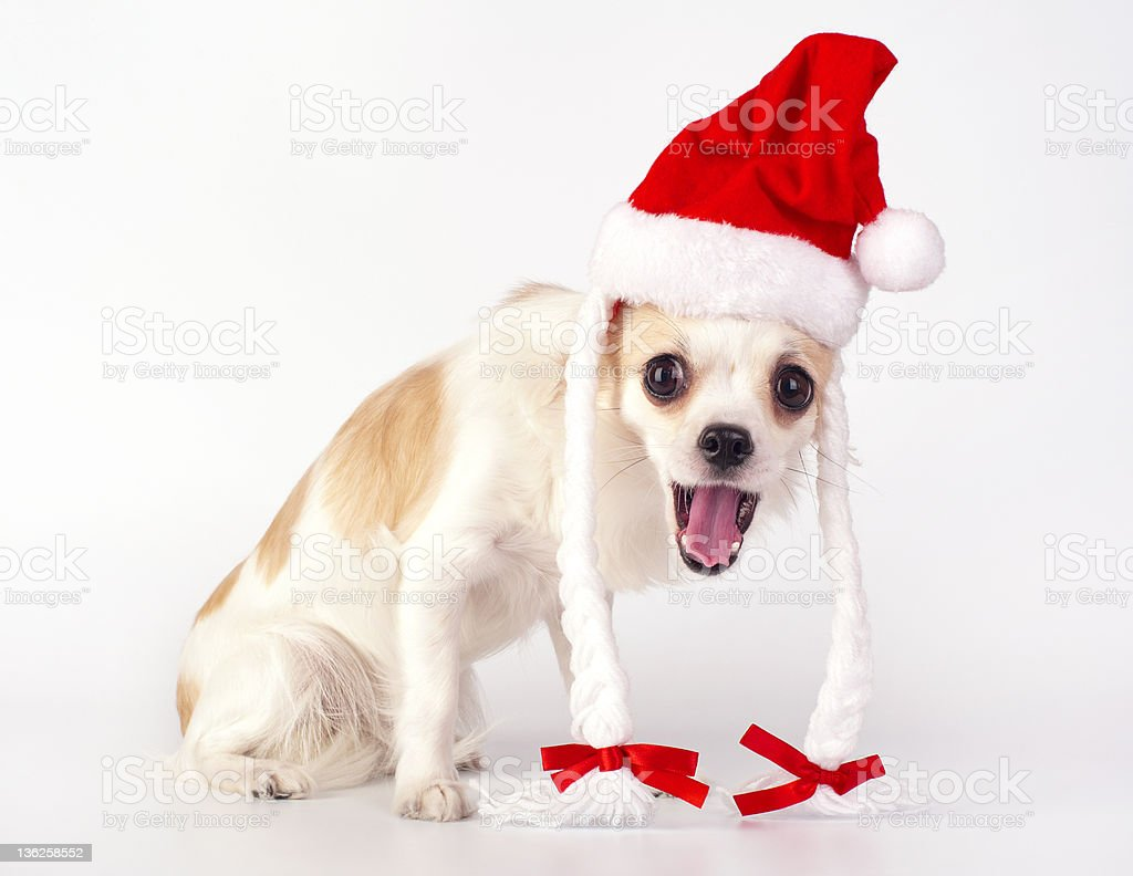Chihuahua dog with Santa hat, pigtails, ribbons and opened mouth royalty-free stock photo