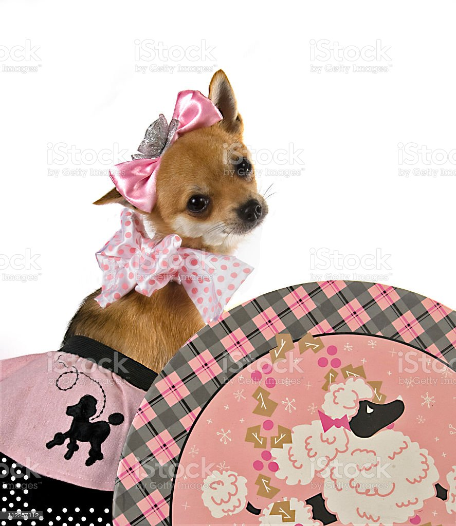 Chihuahua Dog..Lets play dressup stock photo
