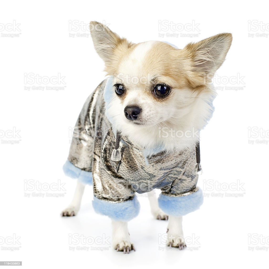 Chihuahua dressed in silver winter coat with blue artificial fur royalty-free stock photo