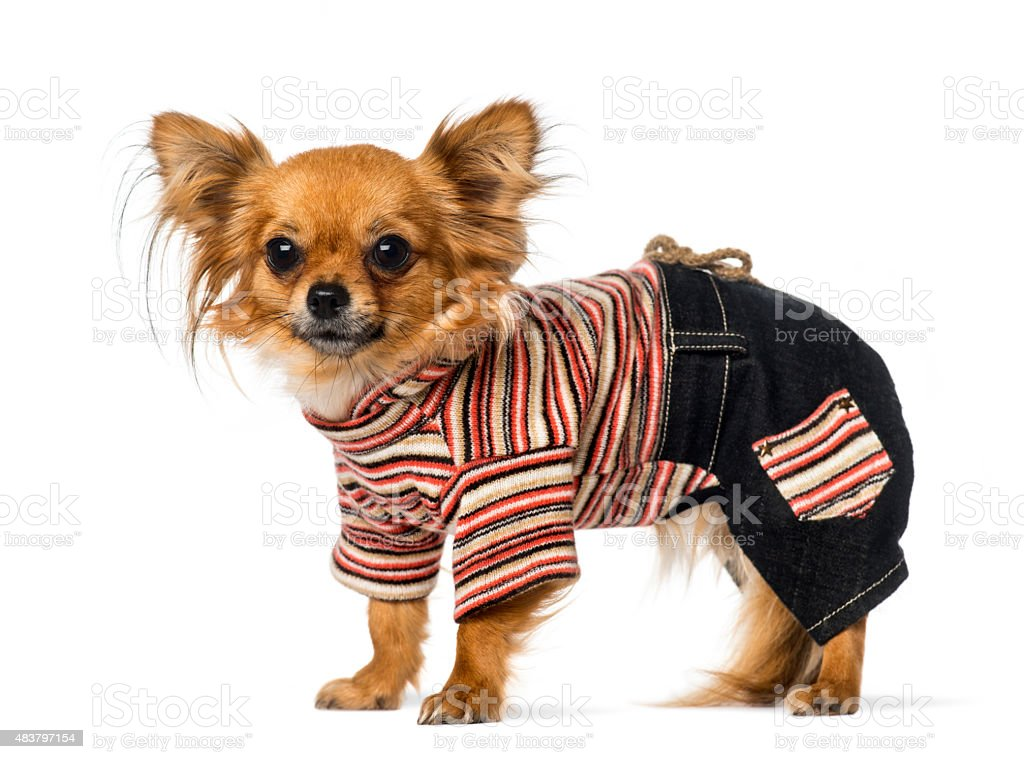 Chihuahua dressed stock photo