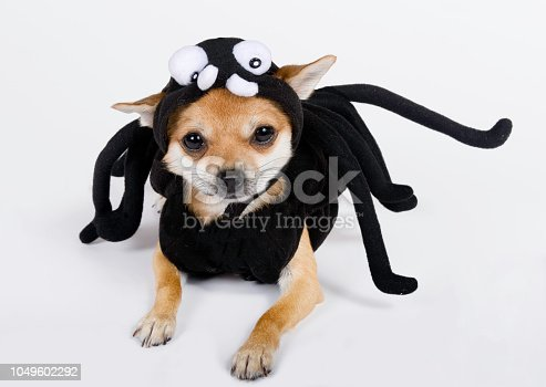 Cute chihuahua is wearing a spider costume for Halloween.