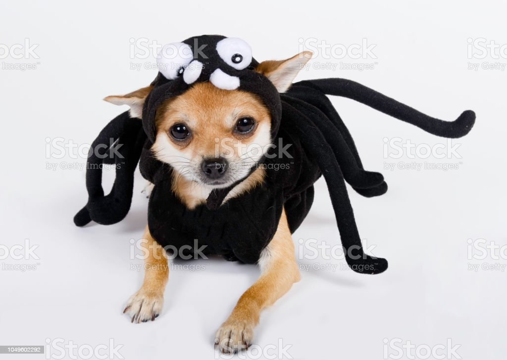 Chihuahua dressed up in spider costume stock photo