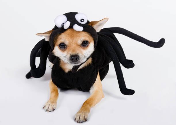 chihuahua in spider kostüm gekleidet - hund spinnenkostüm stock-fotos und bilder