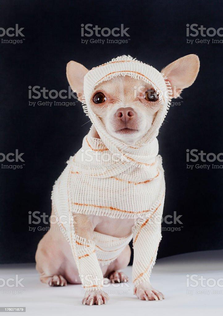 Chihuahua dressed up like a mummy a little chihuahua dressed as a mummy Animal Stock Photo