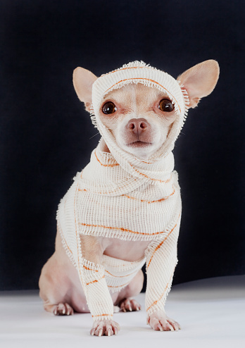 Chihuahua Dressed Up Like A Mummy Stock Photo - Download Image Now