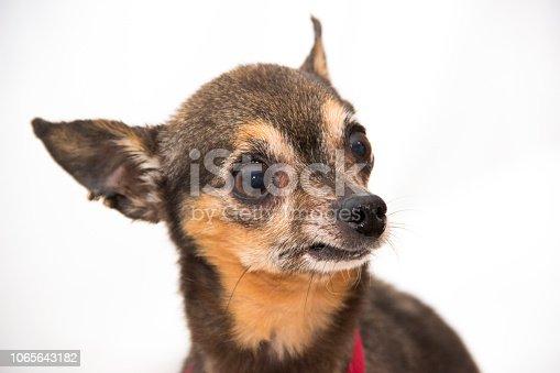 istock Chihuahua Emotions - Little Attitude 1065643182