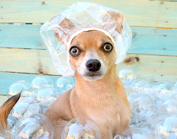 Chihuahua in bubble bath. stock photo
