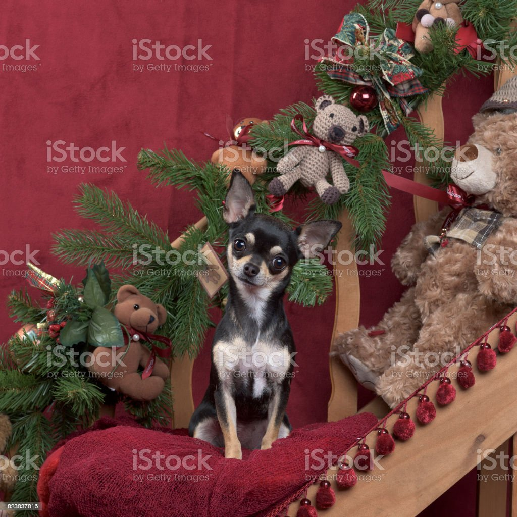 Chihuahua in Christmas decoration stock photo