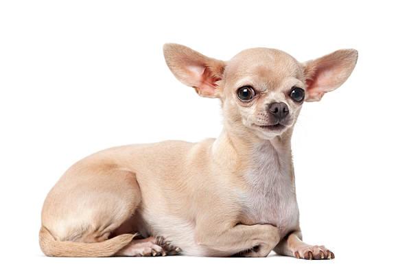 chihuahua (2 ans) à l'avant de un fond blanc - chihuahua chien de race photos et images de collection