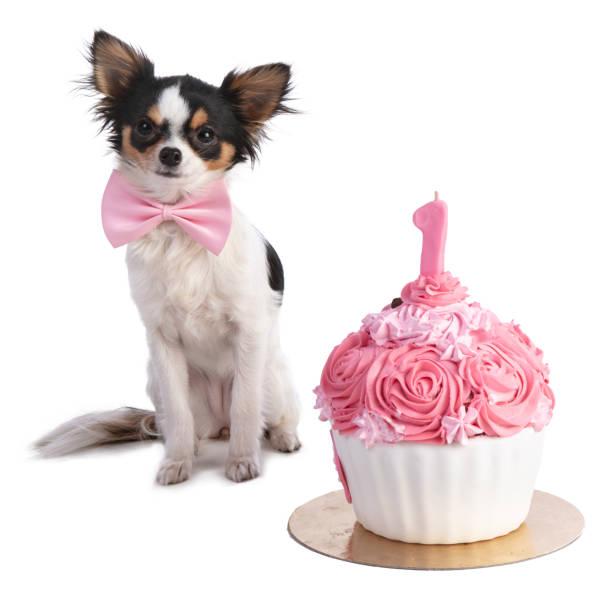 Chihuahua vor ihr eine rosa Geburtstagstorte – Foto