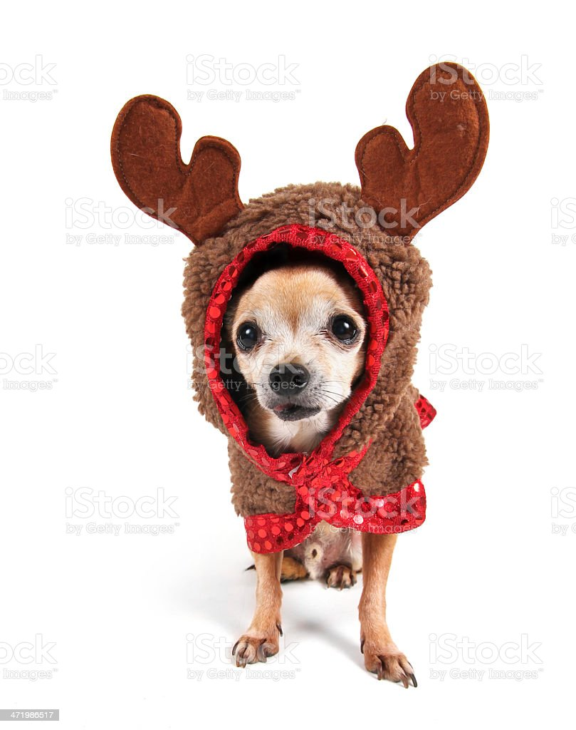 Chihuahua in funny reindeer Christmas costume royalty-free stock photo  sc 1 st  iStock & Chihuahua In Funny Reindeer Christmas Costume Stock Photo u0026 More ...