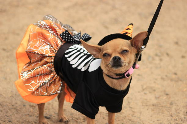 Chihuahua in Halloween costume A tiny Chihuahua looks unhappy about being dressed up in a witch costume. pet clothing stock pictures, royalty-free photos & images