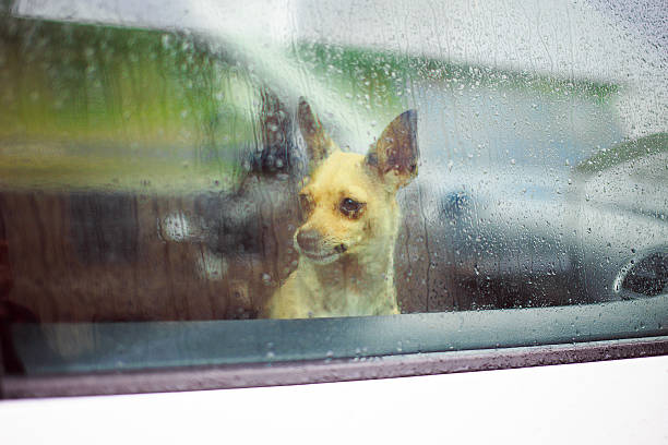 chihuahua in the car little dog looking in the car window in the rain short haired chihuahua stock pictures, royalty-free photos & images