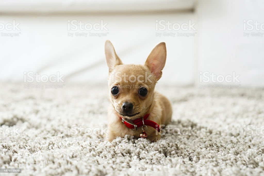 Chihuahua in the living room stock photo