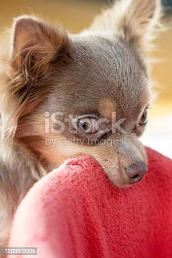 Chihuahua is playing alone