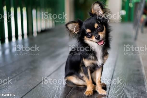 Chihuahua is sitting and happy smile picture id800489110?b=1&k=6&m=800489110&s=612x612&h=vzmf klllpy01nybwixhj0i7u0 phiksyfmknmzt vq=