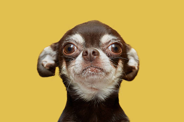 Chihuahua isolated on yellow background stock photo