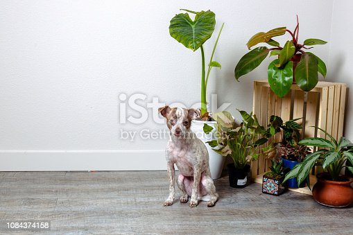 istock Chihuahua Jack Russell Terrier Dog Portraits 1084374158