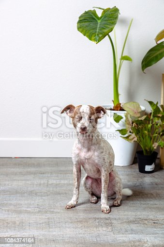 istock Chihuahua Jack Russell Terrier Dog Portraits 1084374164