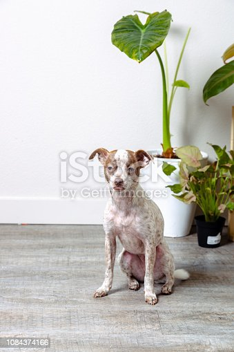istock Chihuahua Jack Russell Terrier Dog Portraits 1084374166