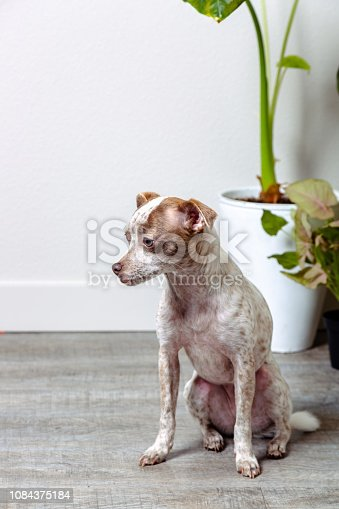 istock Chihuahua Jack Russell Terrier Dog Portraits 1084375184