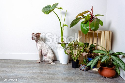 istock Chihuahua Jack Russell Terrier Dog Portraits 1084375248