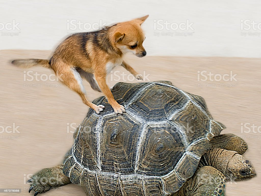 Chihuahua jumping on top of tortoise stock photo