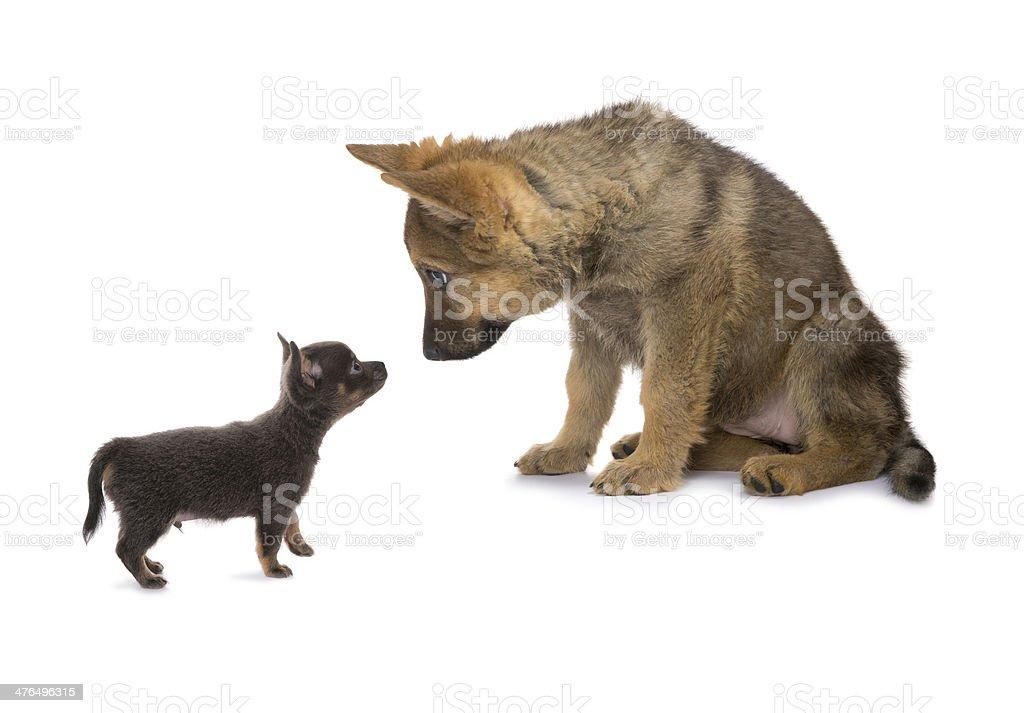 Chihuahua meeting Germand Shepherd stock photo