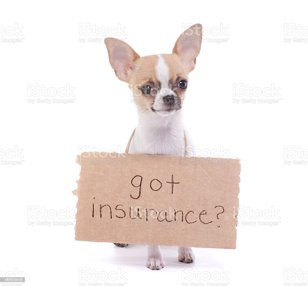 Chihuahua Message about Pet Insurance stock photo